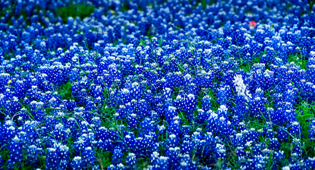 Photographing the Bluebonnets