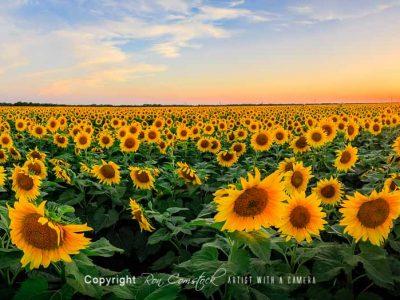 Panorama Prints: Flowers